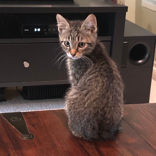 A small tabby kitten with white chin and white whiskers sits on a wooden trunk, his back to the camera but turning to face the viewer