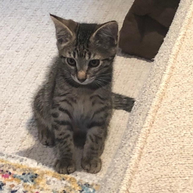 Little tabby kitten sitting on the carpet by a white sofa, looking worriedpet