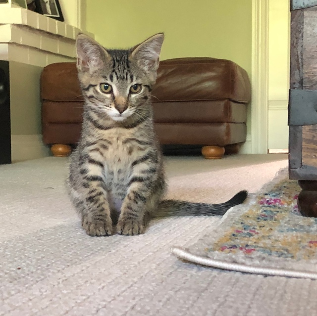 Little tabby kitten sitting on the floor looking a bit forlorn