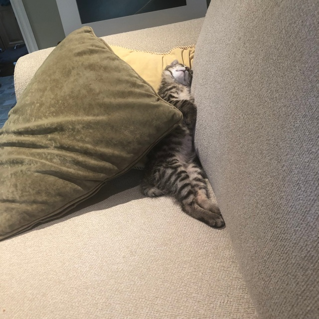 Tabby kitten lying on his back, draped in one long drool over a cushion leaning against the arm of an ivory sofa