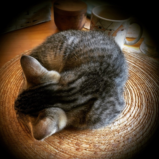Tabby kitten curled up tight as a kitty ammonite on a table mat