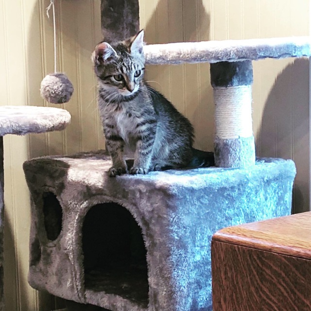 Little tabby kitten sitting on a kitty condo looking very young and inquisitive
