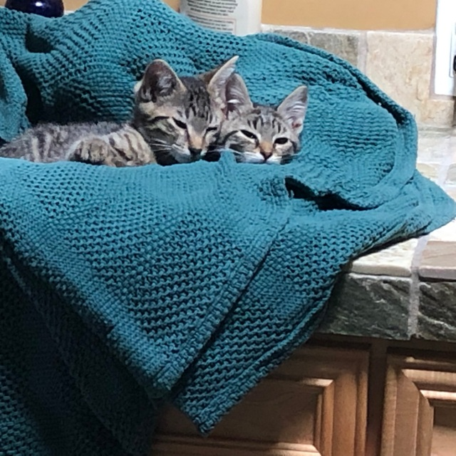 Two tabby kittens (11 weeks old) on a teal thermal blanket lining a bathroom sink.