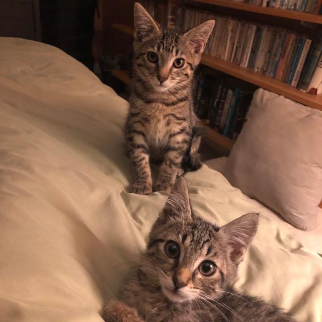 Two tabby kitties on a bed. Huge ears, huge eyes, hugely loved.