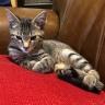 Tabby kitten sitting on brilliant red cushion staring like a demon