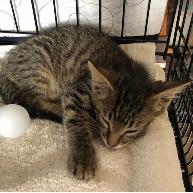 Tiny tabby kitten asleep next to a ping pong ball