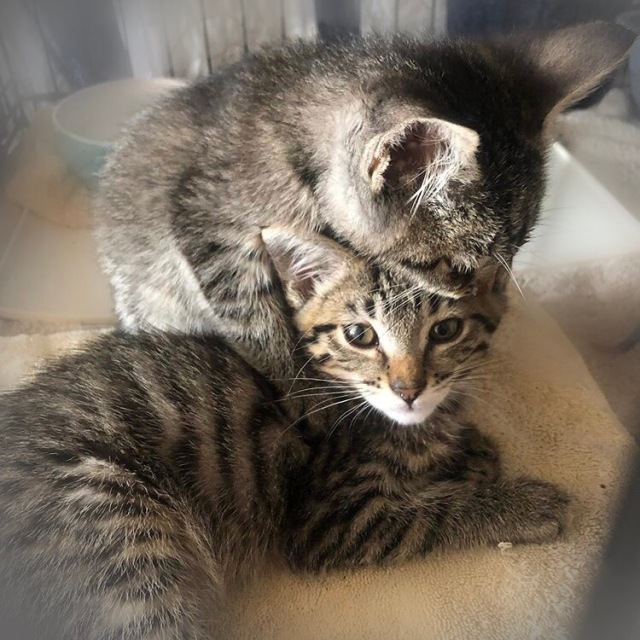 Two tiny tabby kittens, one hugging the other