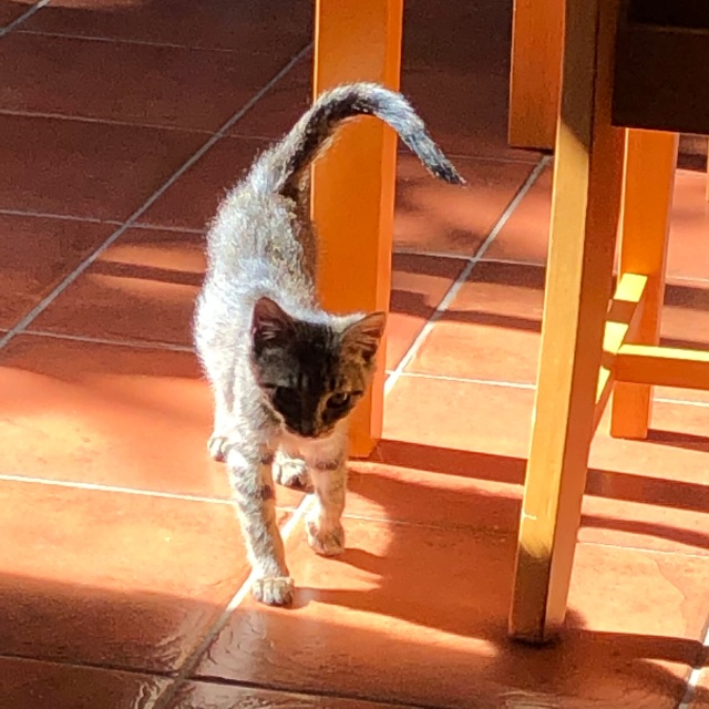 Tabby kitten washed gold in the sun, striding tail up across terracotta floor.