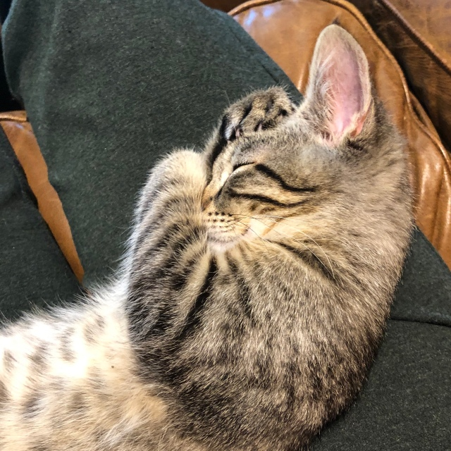 Tabby kitten sleeps with its paws over its eyes