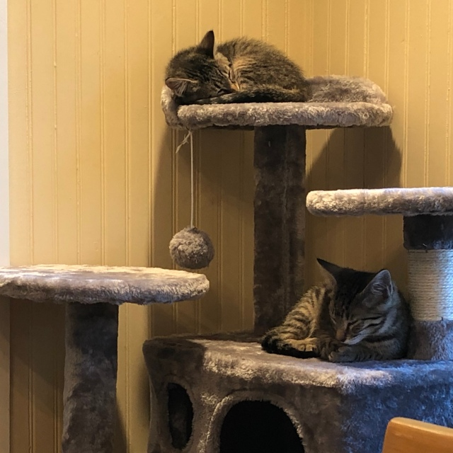 Tiny little tabby kittens on a kitty condo. One, at the top, is curled tight taking up only about a third of the shelf. The second is on the third level down, semi-reclining. of the spac