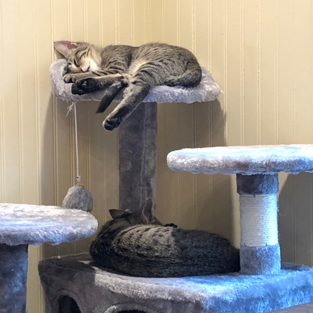 A tabby kitten hangs off the top shelf of kitty condo, taking up every inch; below. another tabby lies sprawled over most of the surface area
