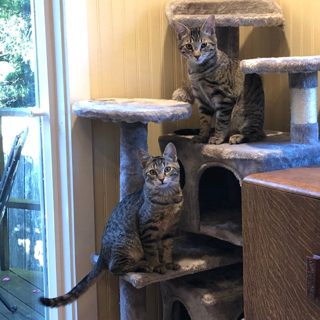 Two tabby kittens on a kitty condo. On on the lower level seems to be trying to grow a ruff.