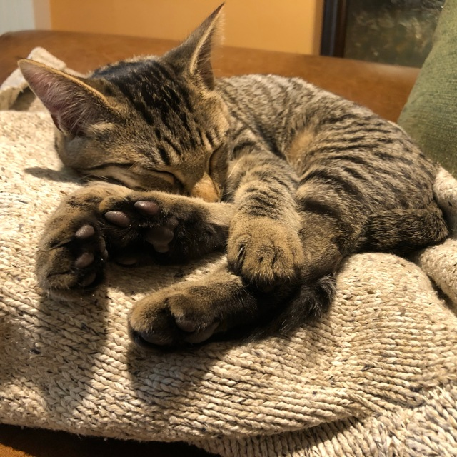 Tabby kitten asleep on an oatmeal coloured sweater