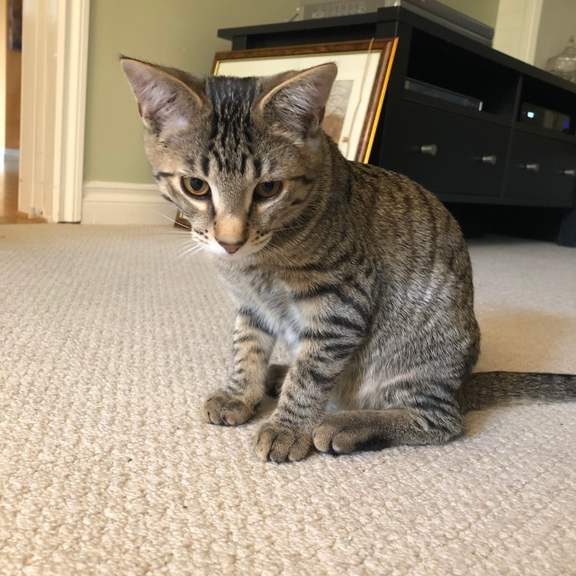 Tabby kitten sitting on a carpet looking very little and uncertain