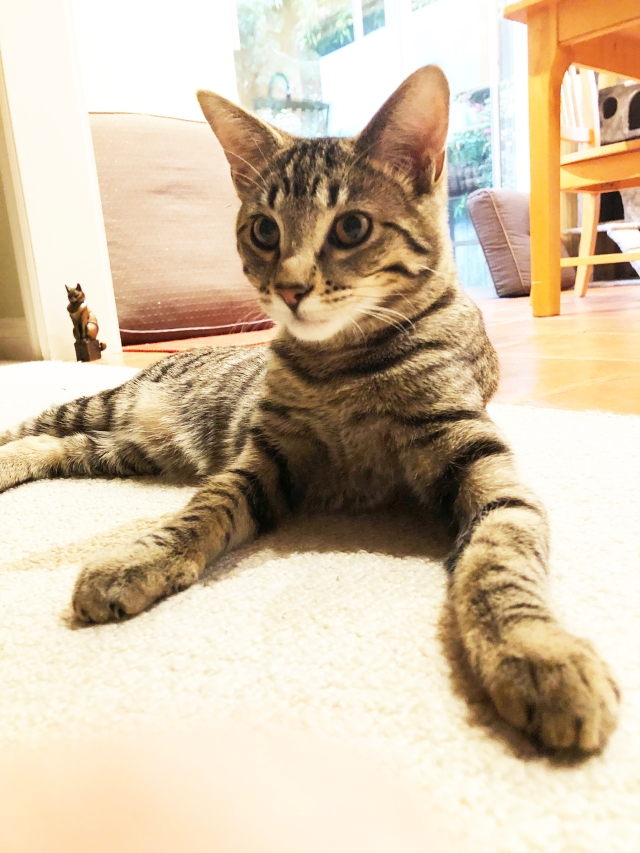Young tabby cat sitting on white carpet in sphinx pose: front paws straight out.
