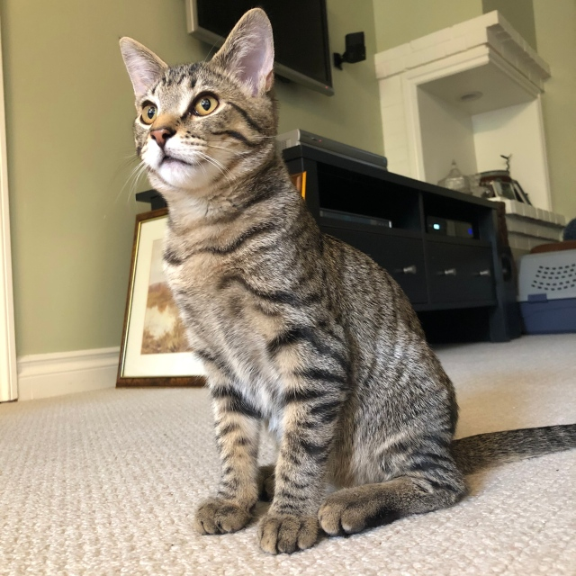 Tabby kitten sitting on a carpet looking very grown up