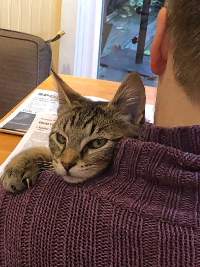 Tabby cat with its head over staff's shoulder, looking back at the camera