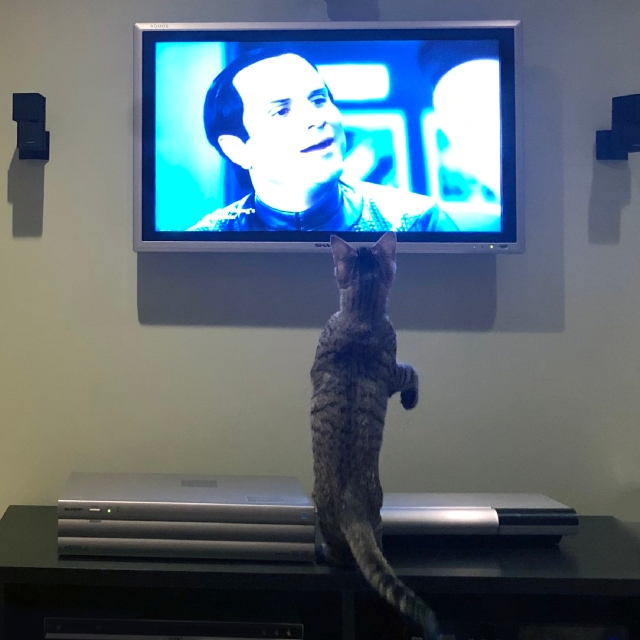 Cat on its hind legs like a prairie dog, watching TV