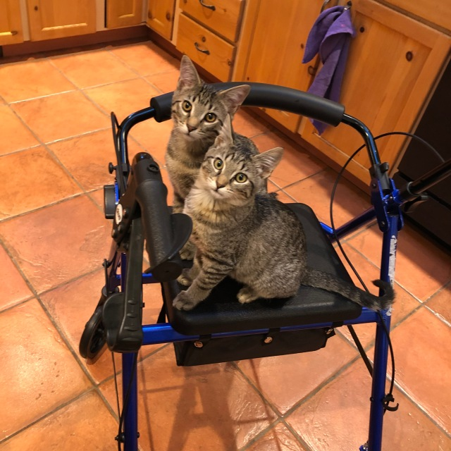 Two tabby kittens sitting on a blue Rollator, waiting for a ride