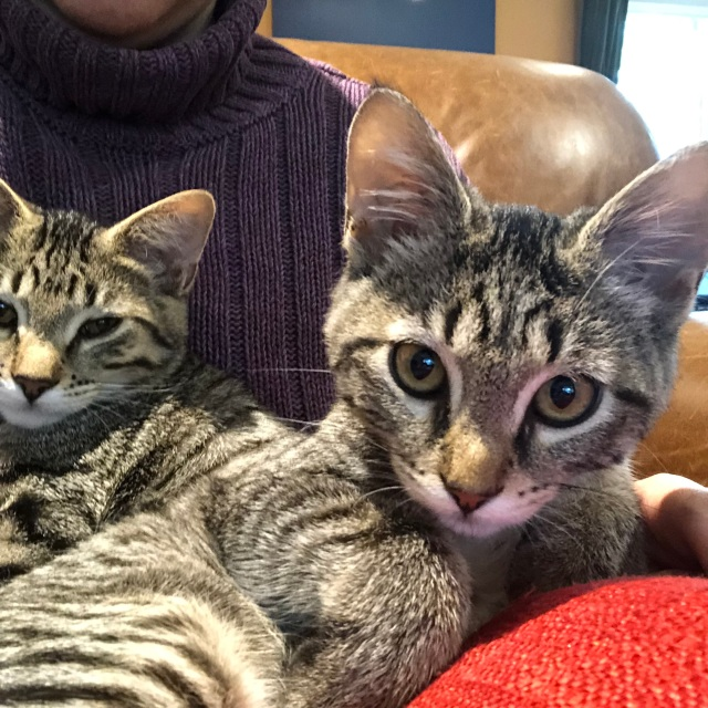 Two tabby kittens on a lap, affronted at being disturbed, staring into the camera