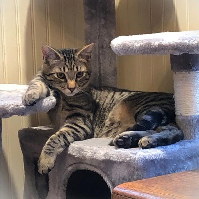tabby kitten in careless, lounging pose
