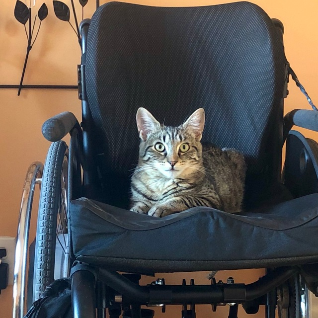 Tabby cat sits in library lion position on black wheelchair facing camera; his eyes are round and wild