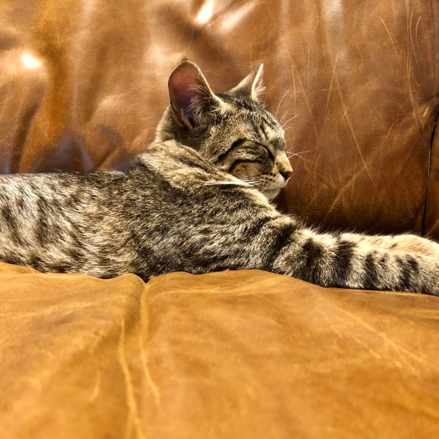 Tabby kitty on brown leather sofa, facing right in library lion pose