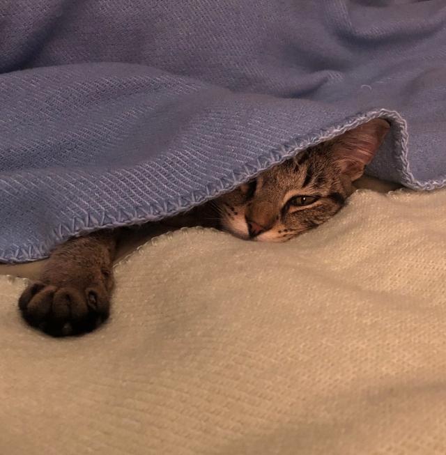 Tabby kitten hiding under blue blanket, chin and paw resting on green blanket