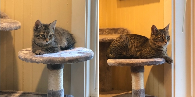 Two photos of the same tabby kitten sitting on the same piece of furniture. On the left, he is tiny and fluffy; on the right, he is big and burly.