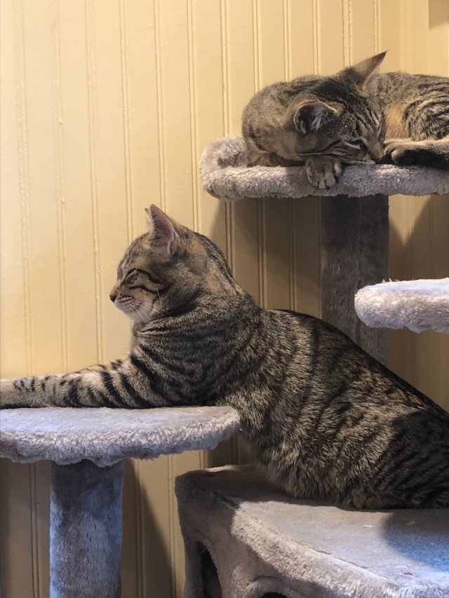 Two tabby kittens on a kitty condo. The one on the left is posing as a sort of split-level library lion