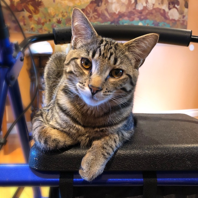Young tabby cat in library lion position on Rollator seat, leaning like the tower of Pisa