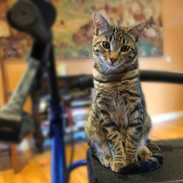 Young tabby cat sitting on Rollator, head titled, waiting to jump on a lap