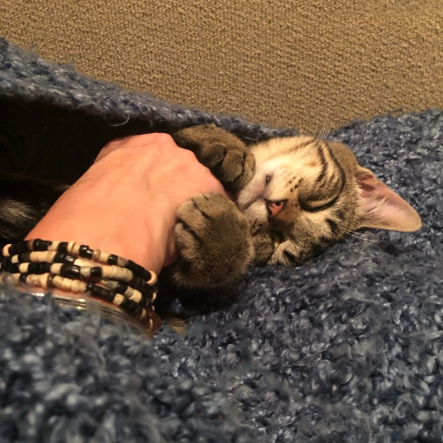 Tabby kitten asleep on a lap, little paws wrapped around a hand