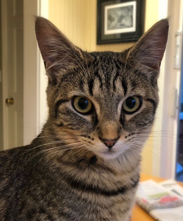 Young tabby cat with very tall pointy ears
