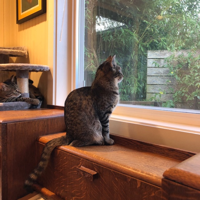 One cat sits on a desk by the window to eatch birds while another cat watches from his kitty condo