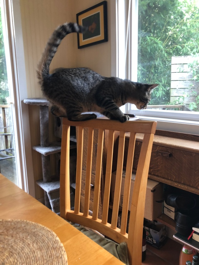 Tabby cat balancing on the back of a wood chair