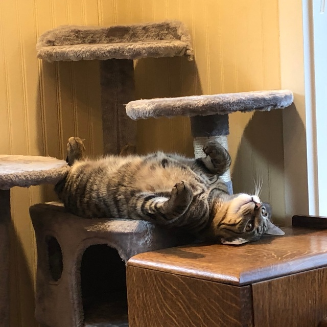 Tabby cat lying on his back partly on a kitty condo and partly the oak desk next to it