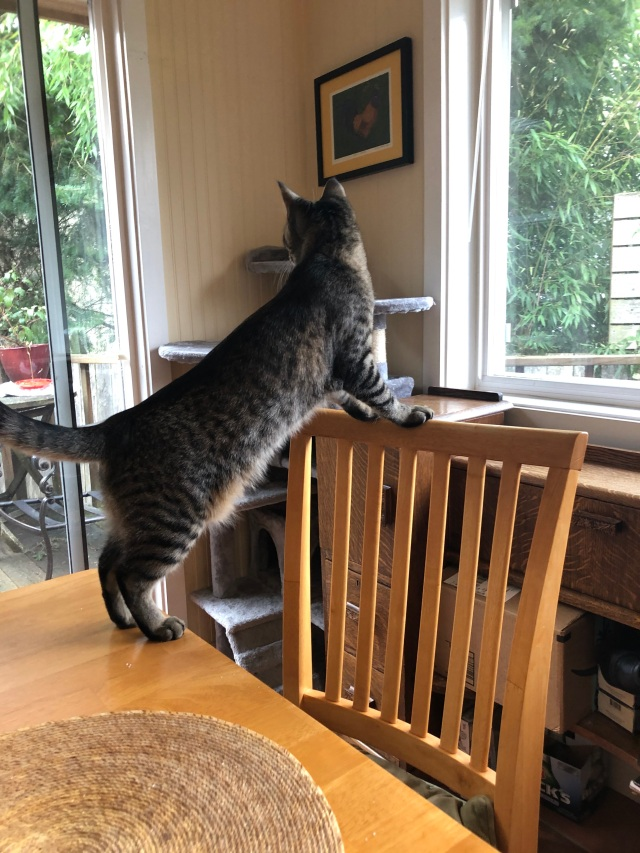 Tabby cat standing with his hinds legs on a table and front legs on the back of a wooden chair