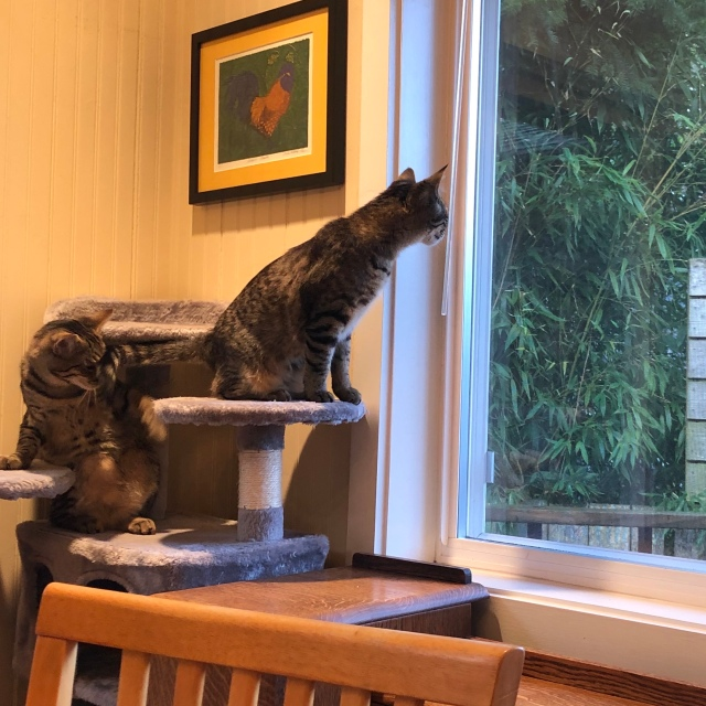 Tabby cat stretching to the window, yearing for birds, while another tabby cat plays with the first cat's tail