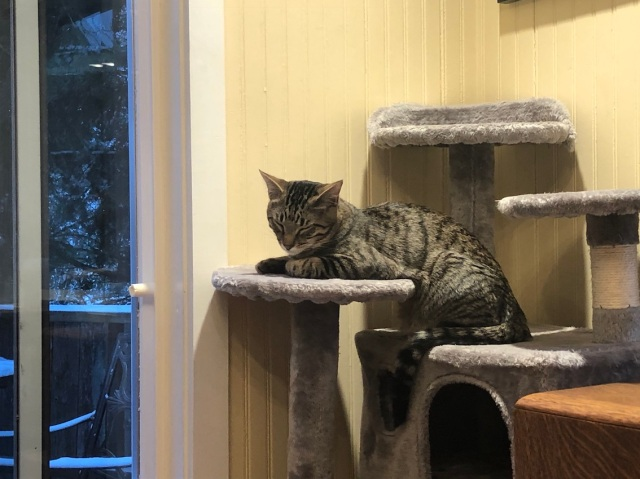 Tabby cat falling asleep on a kitty condo facing the window