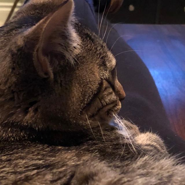 Closeup of tabby cats soft furry face