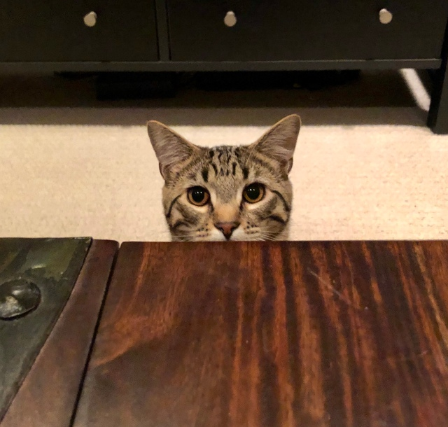 Tabby cat peers over the top of a closed trunk