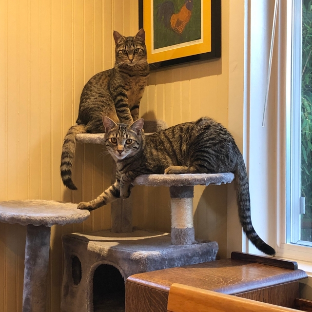 Twp tabby cat at different levels of a kitty condo looking as though someone has interrupted a an important meeting