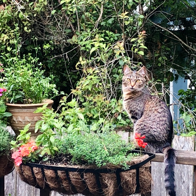 Tabby cat sitting by basket of herbs and flowers looking fluffy and paradoxically demonic