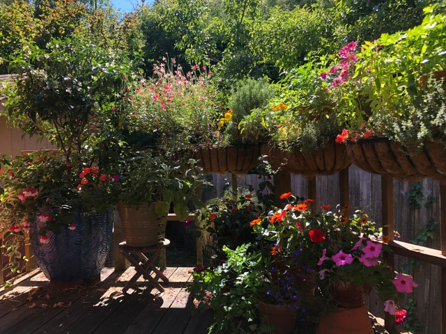 Photo of flowers and herbs of many vrieites growing lusly and densely and colourfully on a sunlit deck