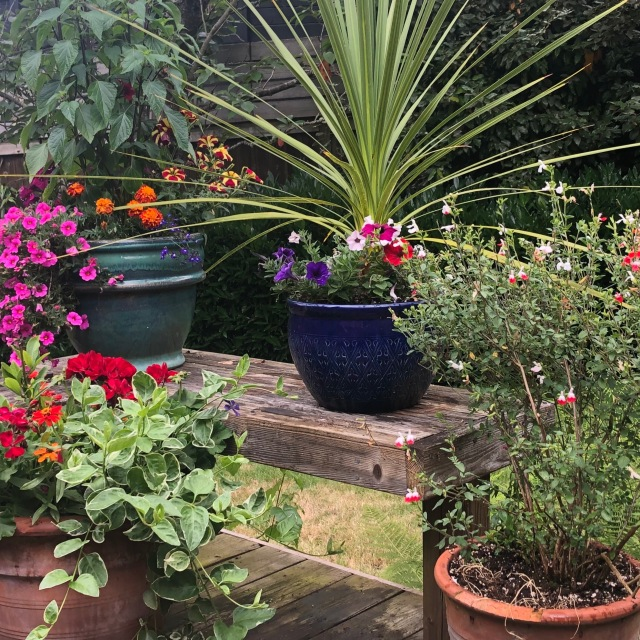 Pots of flowers on the deck looking bright and blooming and healthy