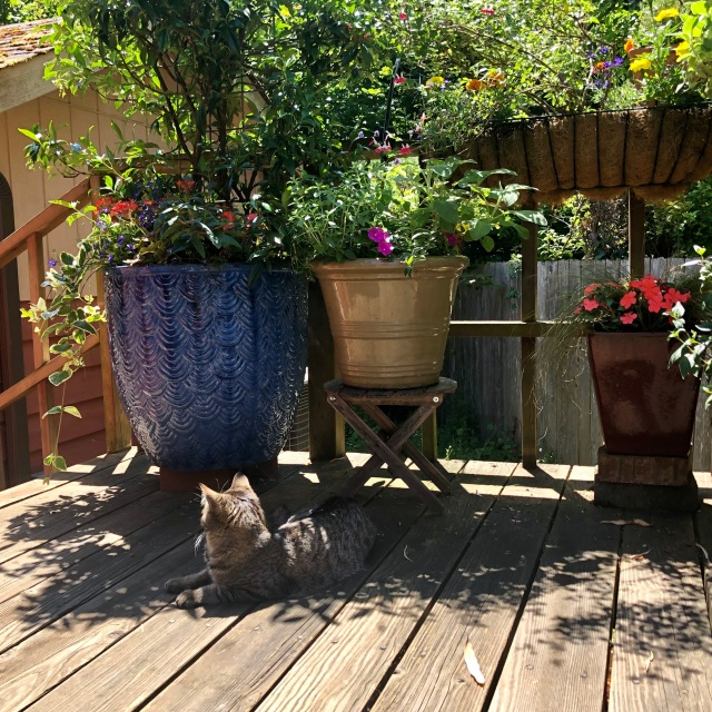 Photo of a sunny deck with a tabby cat lying by a blue cermaic pot with jasmine and fuchsia, a smaller pots of sage and marjoram, and a hanging basket of saliia and marigold