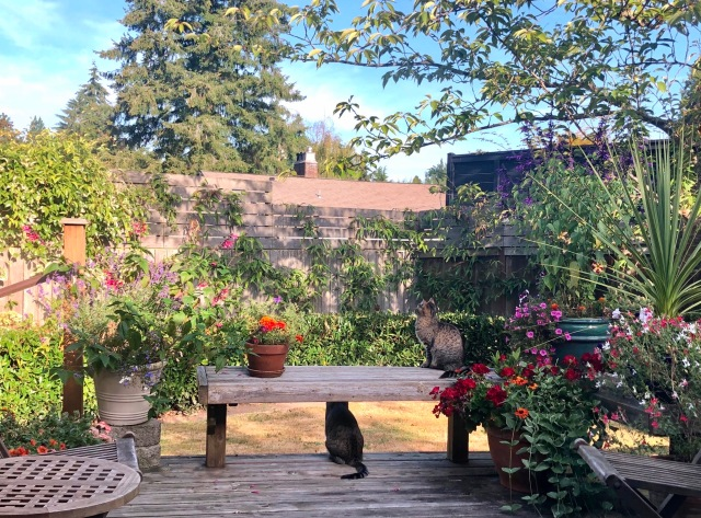 Early orning on a Seattle deck with bright pae blue sky, slanting yellow light, and two tabby cats sitting on the deck admiring the flowers