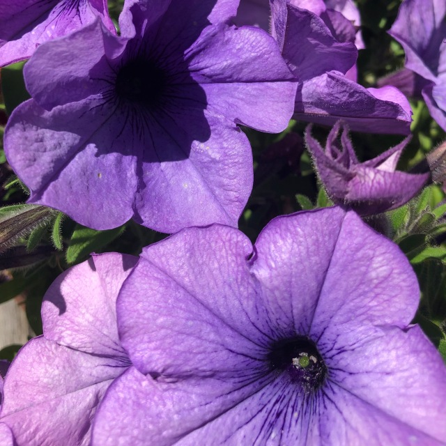 Dusty purple petunias