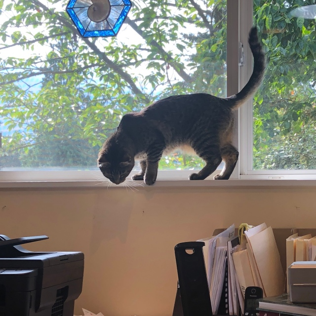 Tabby cat on a home-office window sill, prowling, and about to knock some files over